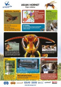Asian hornet infographic – go to Vita Gallery to download